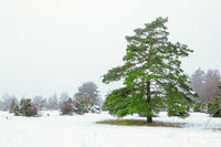 winter landscape scenery with a pine tree