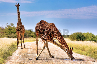 Giraffe trinkt auf dem Weg, Etosha-Nationalpark, Namibia, (Giraffa camelopardalis) | Giraffe drinking at the street, Etosha National Park, Namibia, (Giraffa camelopardalis)