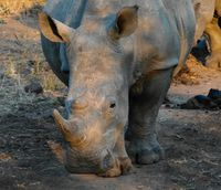 Portrait of white rhinos in the Mkhaya Game Reserve , Siphofaneni, Eswatini former Swaziland
