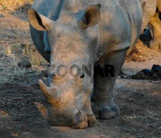 Portrait of white rhinos in the Mkhaya Game Reserve , Siphofaneni, Eswatini former Swaziland