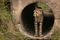 Cheetah cub standing in pipe stares out