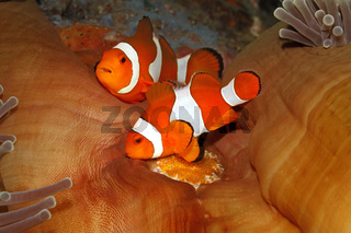 Pair of Clown Anemonefish, Amphiprion percula, tending eggs