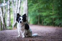 Kleiner schwarz-weißer Mischlingshund sitzt im Wald auf einem Weg