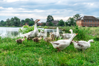 Adult geese walking with small geese near the pond, rural landscape, summer