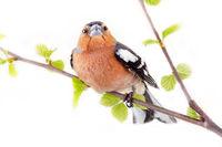Big-eyed red bird on beautiful birch branch
