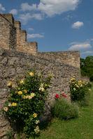 A rose bush at bricked wall