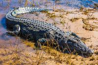 Crocodile  in Botswana