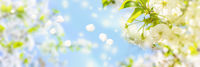 Blossoming cherry tree on light sky background in sunlight. Soft pastel toned. Springtime sakura flower panorama with flying petals. Copy space banner