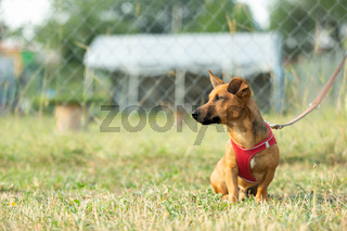 Small mixed breed dog on a green meadow. Age almost 2 years. Dog school, veterinarian and pet concept.
