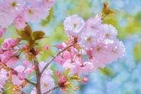 Blossom of Sour Cherry