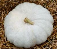 Flat White Boer, Kuerbis, Speisekuerbis