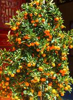 Tangerine Tree Vietnam