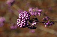 Chinesische Schönfrucht (Callicarpa giraldii), Liebesperlenstrauch