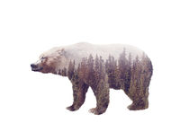 Double exposure of a wild bear and a pine forest