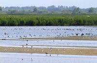 Large group of birds in shalow waters