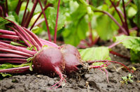 Just picked Red Beets on the garden soil closeup view