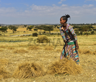 Einheimische Frau sammelt Garben von Teff (Eragrostis tef) zum Dreschen, Hawzien, Tigray, Äthiopien