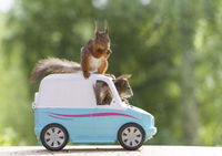 red squirrels are riding in an van