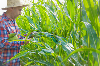 Middle age caucasian Farmer in straw hat inspecting maize cornfield somewhere in Ukraine. Harvest care concept