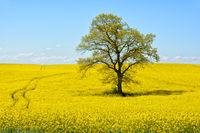 Rapsodie in gelb
