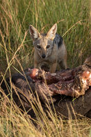 Black-backed jackal crouches by carcase checking horizon