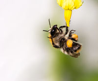 Bumblebee on flower blossoms