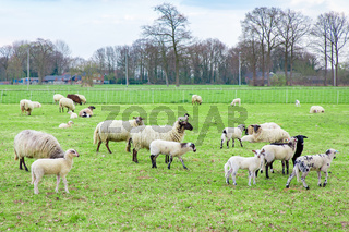 Herd of sheep with lambs in dutch meadow