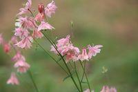 pink flowers Aquilegia vulgaris