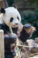 Giant panda animal.