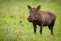 Warthog standing facing camera on grassy meadow