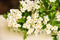 Weißdorn Blüten Crataegus auf Holz