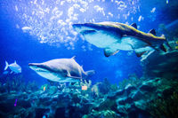 Two sharks underwater view