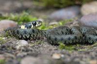 Jugendliche Grasschlange (Natrix natrix)