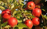 Rote Äpfel 1