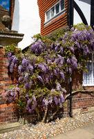 Rye - Blumen zwischen Häusern- II - England