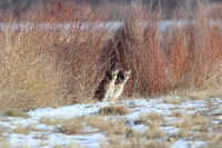 Two cougars are watching the environment in the Bosque del Apache National Wildlife Refuge,New Mexico,USA