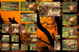 Caracal pictures collage