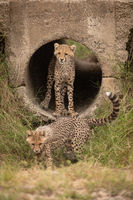 Cheetah cub standing in pipe watches another