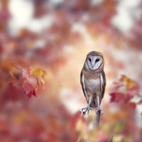 Barn owl in the autumn forest
