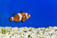 Aquarium fishes in salt water