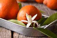 Closeup of a group of Tangelos on a metal tray with leaves and orange blossoms