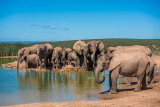 Elephant's herd at water hole, South Africa