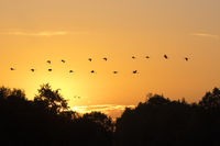 Kraniche im Sonneaufgang