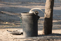 Vervet monkey on a trashcan