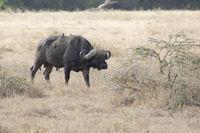 male African Buffalo that walks through the tall dry African savannah