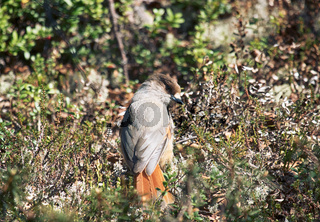 Siberian jay in pine forest