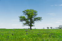 Spring landscape lonely green oak tree on a green field of lush grass against a blue sky. The concept of ecology