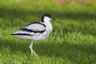 avocet ( recurvirostra avosetta)