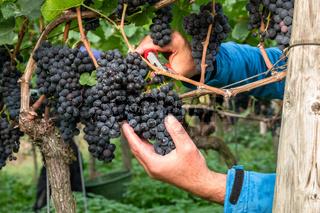 a vineyard red grapes harvest