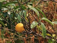 Local type of pomelo, citrus fruit growing in the Langtang National Park, Nepal.